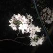昨日の雨で桜は・・・
