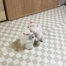 茨木 高槻 北摂 ティーカッププードル販売 トイプードル 子犬 箕面   京都の記事より