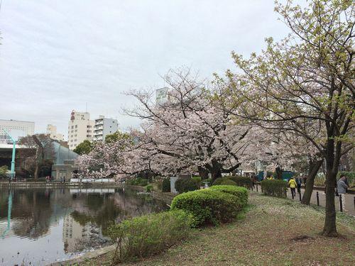 上野公園桜18