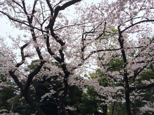 上野公園桜10