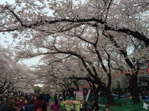 上野公園桜11