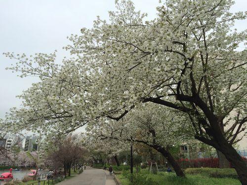 上野公園桜15