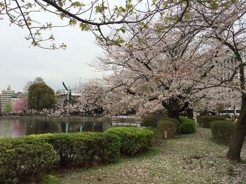 上野公園桜19