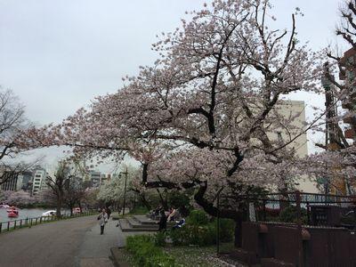 上野公園桜14