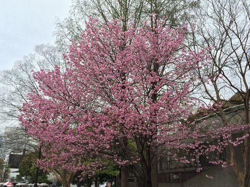 上野公園桜23
