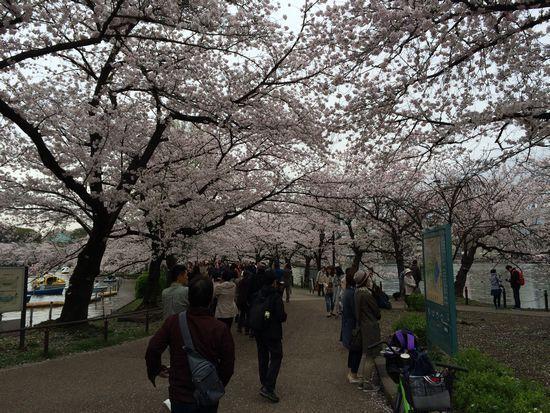 上野公園桜17