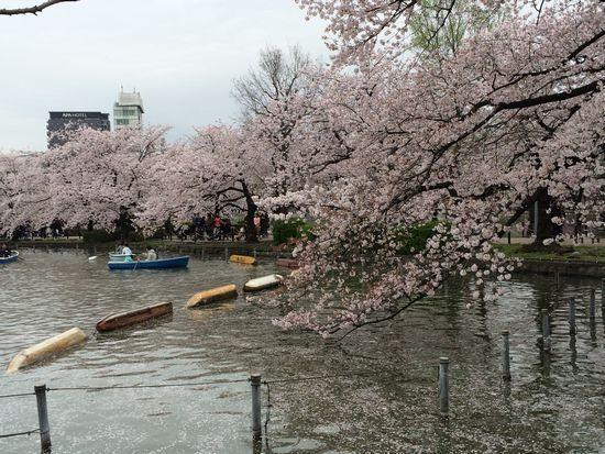 上野公園桜16