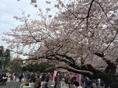 上野公園桜12