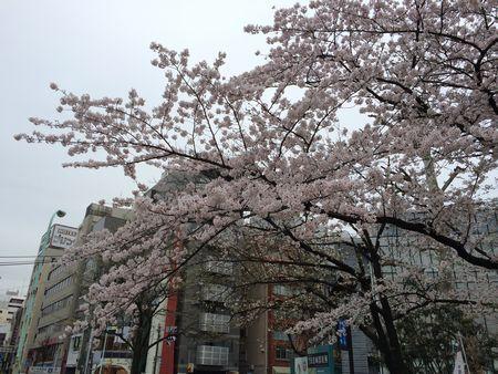 上野公園桜20