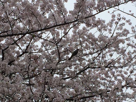 上野公園桜21