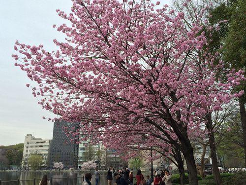 上野公園桜22