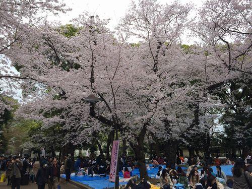 上野公園桜6