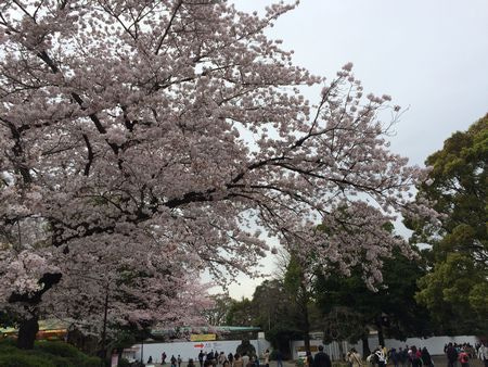 上野公園桜13
