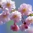自宅の花でお花見!!