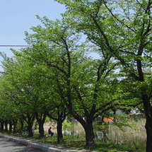 桜の話パート2