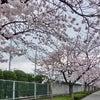 芳泉桜並木 「学び舎の春」の画像