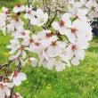 桜になんとか間に合い…
