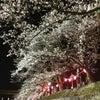 鳥取県智頭〜夜桜〜の画像
