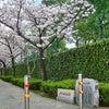 芳泉桜並木 「大前土手跡」の画像