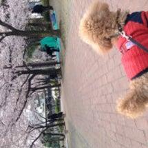 桜満開〜寒の戻り