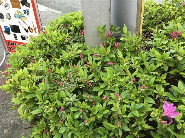 お店の前のツツジが咲き始めました!~小田原の買取は買取キング JR鴨宮駅前店~の記事より