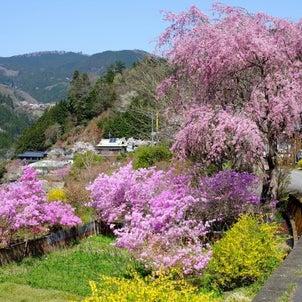 今年2度目の桜の画像