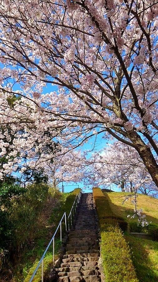 海と桜 匂崎公園 | 京のwanko