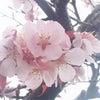 天皇桜に会いに伊勢への画像
