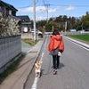 チビちゃん自宅周辺での散歩訓練の画像