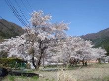 '16 桜