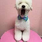 茨木市 デザインカット アルパカスタイル チャンピオン犬の記事より