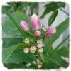 4/22 レモンの木のつぼみ♪の画像