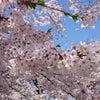 弘前さくらまつりに行ったことがない方へ(2016年4月24日・日曜11時の様子)の画像