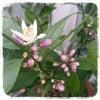 4/25 レモンのつぼみ→開花の画像