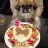 チベタンスパニエル「こなみちゃん」のBirthdayケーキの画像