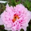 大輪の花の画像