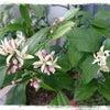 4/29レモンの木の花♪の画像