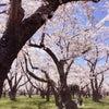 お花見♡桜が満開!!の画像