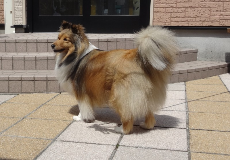Resultado de imagen para 犬  sheltie 尾