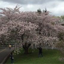 農試公園と新川の桜