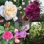 庭の薔薇の様子と素敵…