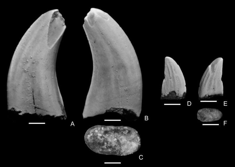 久慈で見つかった小型獣脚類の歯...