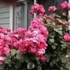 薔薇、育ててる人は見せたいのです♪の画像