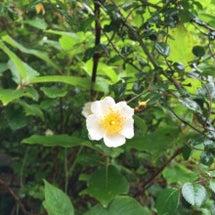野イバラが咲いていま…