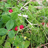 ヘビイチゴの画像