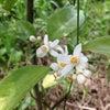シークワーサーの花の画像