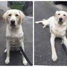 盲導犬のたまごの記事より