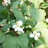 咲きました ドクダミの花!!の画像