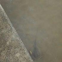【エメラルダスMX83ML】エギ竿の限界に挑戦してみた【サーフDEフラット】の記事に添付されている画像
