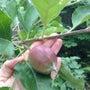 りんごとイチゴ@裏庭